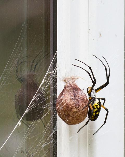 Argiope spider egg sac