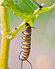 Monarch caterpillar preparing to form a chrysalis