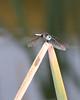Common Green Darner 0722-3 (1 of 1)