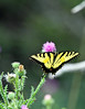 Eastern Tiger swallowtail 4-1