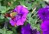 Hummingbird moth 3-1