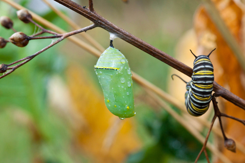 Monarch Caterpillar and Chrysalis on a limb