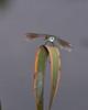 Common Green Darner 0722-1 (1 of 1)