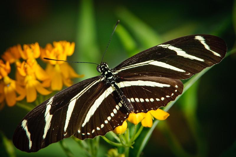 Butterfly Estates, Ft. Myers, Zebra Longwing Butterfly