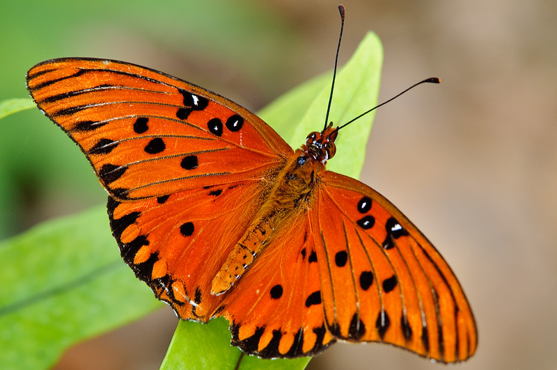 Butterfly Estates, Ft. Myers, Gulf Fritillary I think