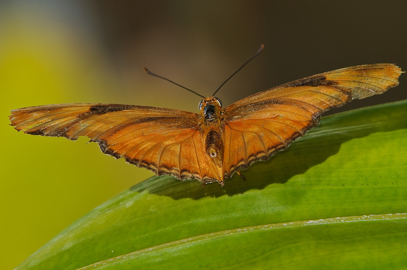 Butterfly Estates, Ft. Myers, maybe a Julia Heliconian?