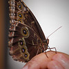 Blue Morpho at Boston Butterfly Garden - 30 Mar 2011