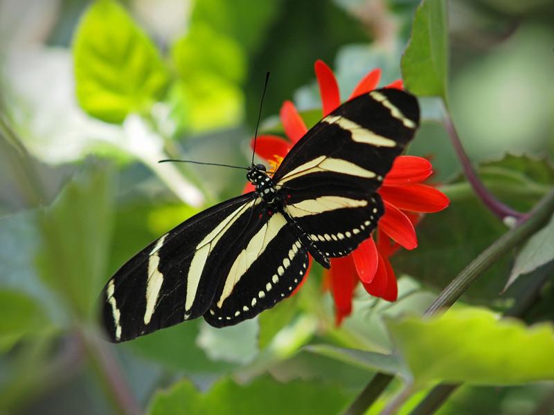 Zebra Longwing at Boston Butterfly Garden - 30 Mar 2011