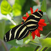 Zebra Longwing at Boston Butterfly Garden - 30 Mar 2011