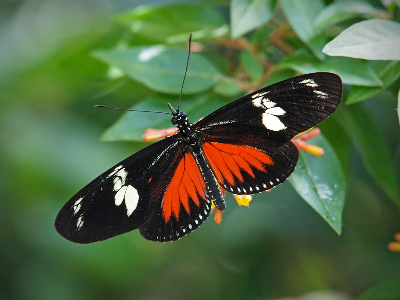 Doris Longwing at Boston Butterfly Garden 30 May 2011