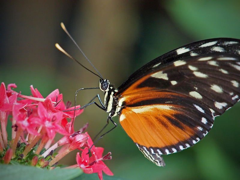 Hecale Longwing at Boston Butterfly Garden - 30 Mar 2011