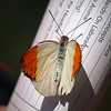 Orangetip at Boston Butterfly Garden - 30 Mar 2011