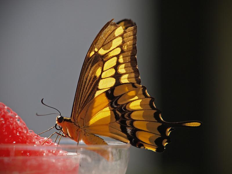 Giant Swallowtail at Boston Butterfly Garden - 30 Mar 2011