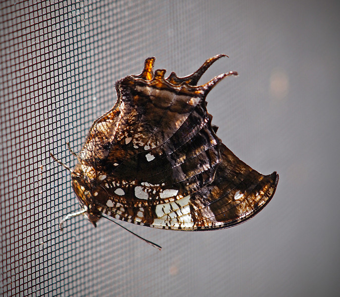 Silver Studded Leafwing at Boston Butterfly Garden - 30 Mar 2011