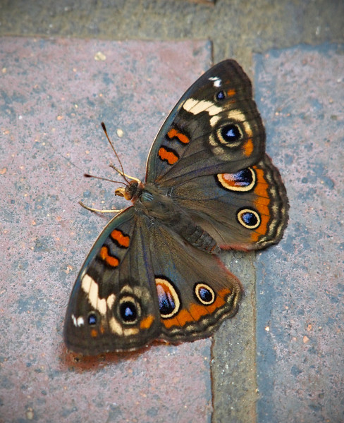 Common Buckeye at Boston Butterfly Garden - 30 Mar 2011