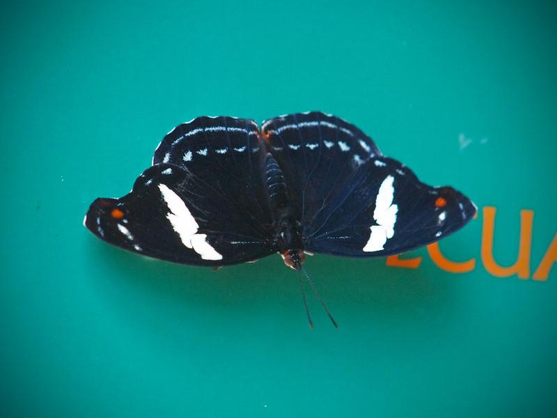 Grecian Shoemaker (female) at Boston Butterfly Garden - 30 Mar 2011