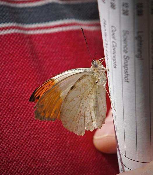 Orangetip at Boston Butterfly Garden - 30 Mar 2011