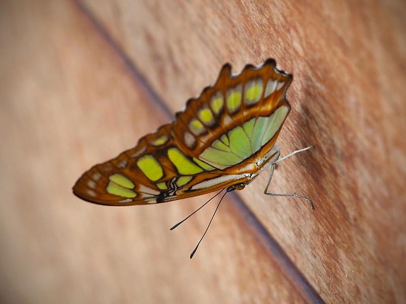Malachite at Boston Butterfly Garden - 30 Mar 2011