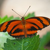 Banded Orange Heliconian at Boston Butterfly Garden - 30 Mar 2011