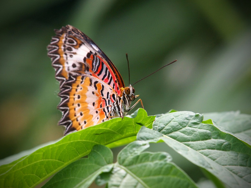 Leopard Lacewing (male) at The Butterfly Place - 29 Mar 2011