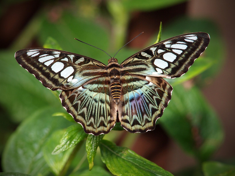 Blue Clipper at The Butterfly Place - 29 Mar 2011