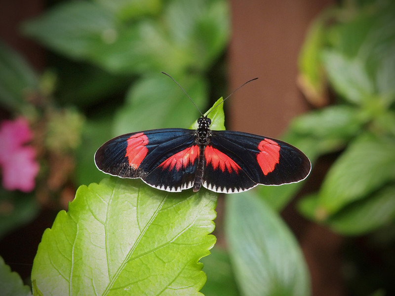 Red Postman (H. Melpomene) at The Butterfly Place - 29 May 2011