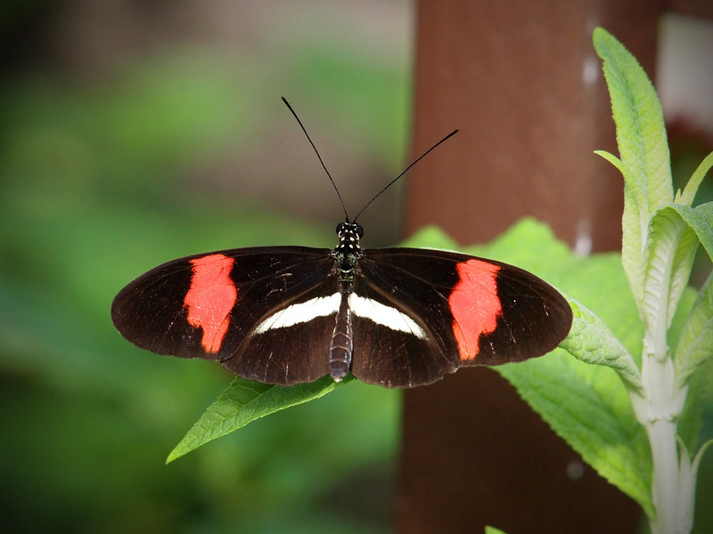 Red Postman (H. Melpomene) at The Butterfly Place - 29 Mar 2011