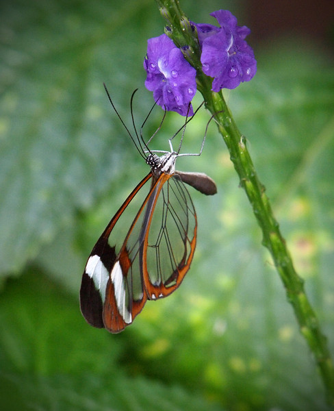 Greta oto (Glasswing) at The Butterfly Place - 29 Mar 2011