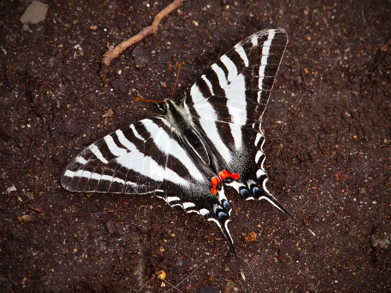 Zebra Swallowtail at The Butterfly Place - 29 Mar 2011