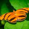 Orange Barred Tiger - Butterfly Wonderland - 20 Nov 2020