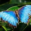 Blue Morpho - Butterfly Wonderland - 20 Nov 2020
