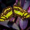 Malachite - Butterfly Wonderland - 20 Nov 2020