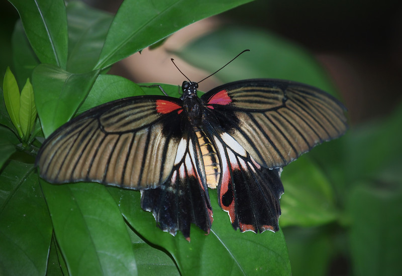 Great Mormon (female) at Cockrell Butterfly Center - 30 Oct 2011