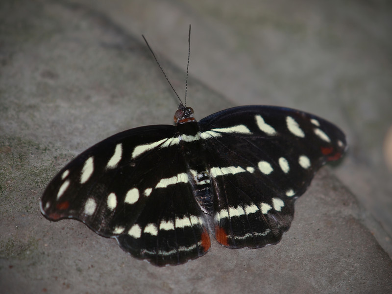 Orange-banded Shoemaker (female) at Cockrell Butterfly Center - 30 Oct 2011