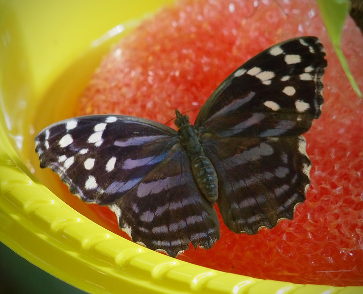 Mexican Bluewing (female) at Cockrell Butterfly Center - 30 Oct 2011