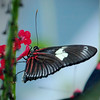 Doris Longwing (red) at Cockrell Butterfly Center - 30 Oct 2011