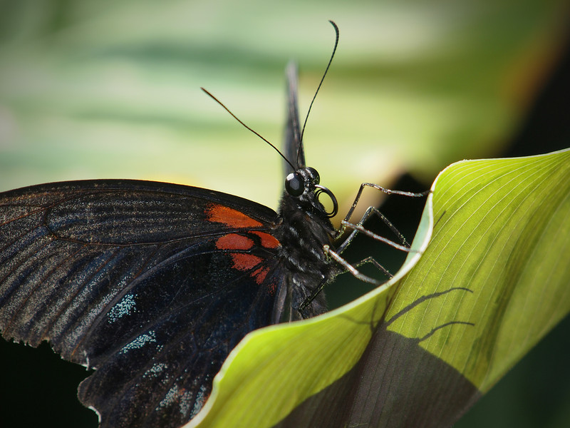 Great Mormon at Cockrell Butterfly Center - 30 Oct 2011