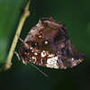 Silver Studded Leafwing at Cockrell Butterfly Center - 30 Oct 2011