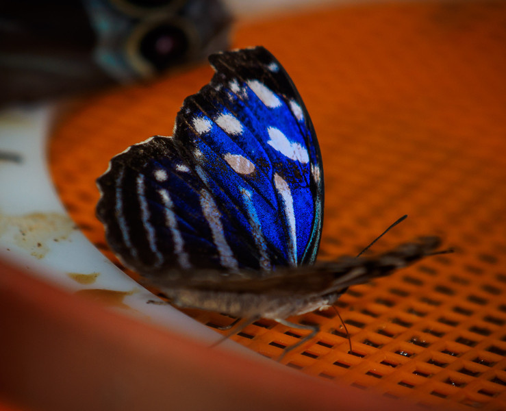 Banded Purplewing at Butterfly Jungle - 4 Apr 2014
