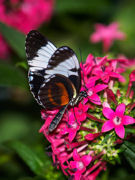 Tiger Longwing at Butterfly Jungle - 4 Apr 2014