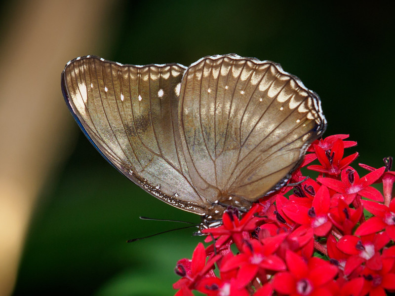 Great Eggfly at Butterfly Jungle - 15 Mar 2013