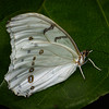 White Morpho at Butterfly Jungle - 4 Apr 2014