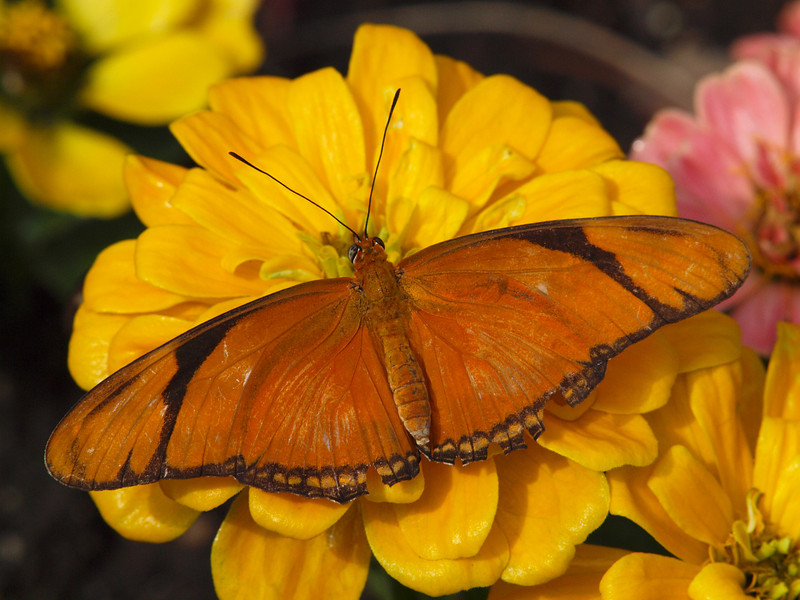 Julia Longwing (female) at Butterfly Jungle - 24 Apr 2010