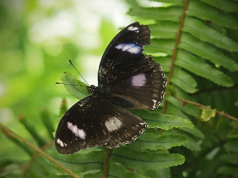 Great Eggfly (male) at Butterfly Jungle - 16 Apr 2011