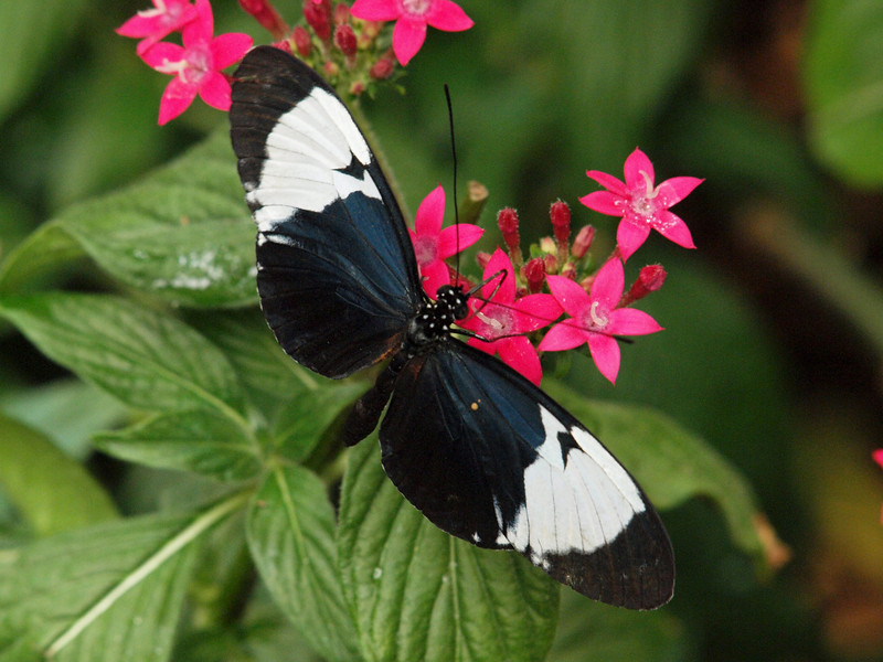 Cydno Longwing at Butterfly Jungle - 11 Apr 2010