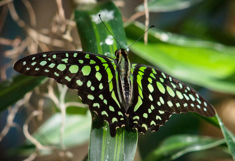 Tailed Jay at Butterfly Jungle - 15 Mar 2013