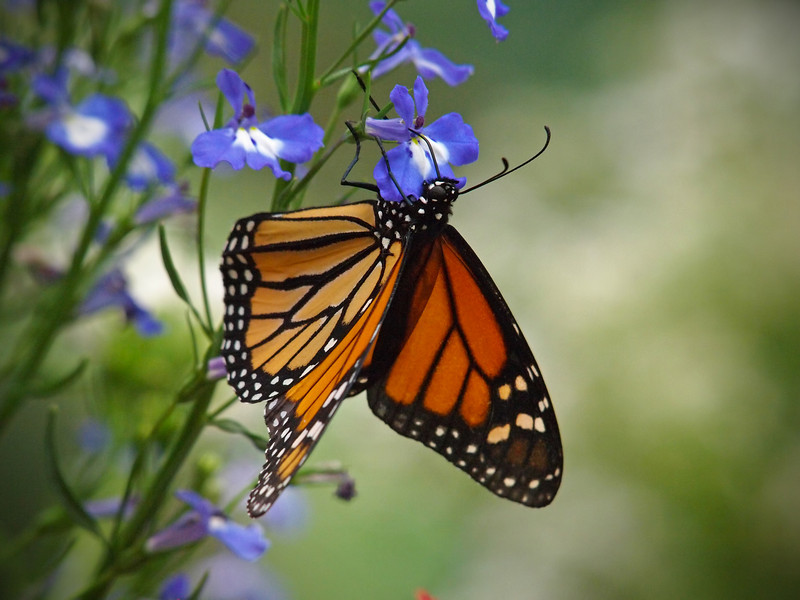 Monarch at Butterfly Jungle - 16 Apr 2011