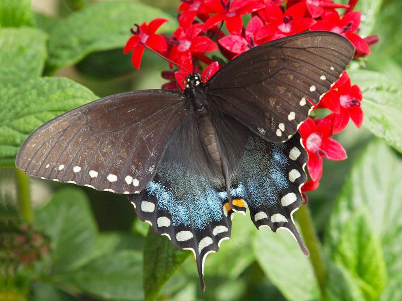 Spicebush Swallowtail at Butterfly Jungle - 24 Apr 2010