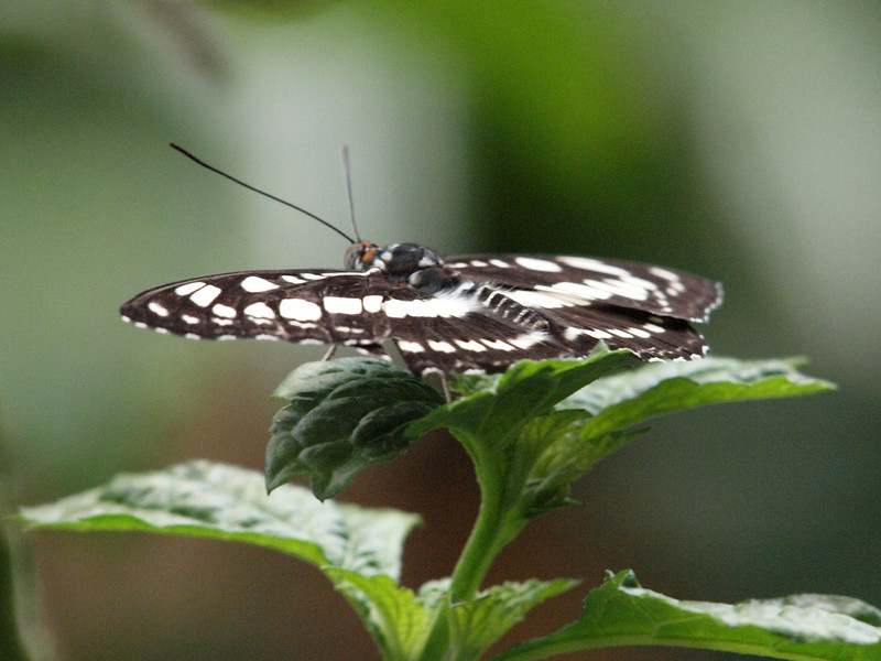 Common Sailor at Butterfly Jungle - 11 Apr 2010