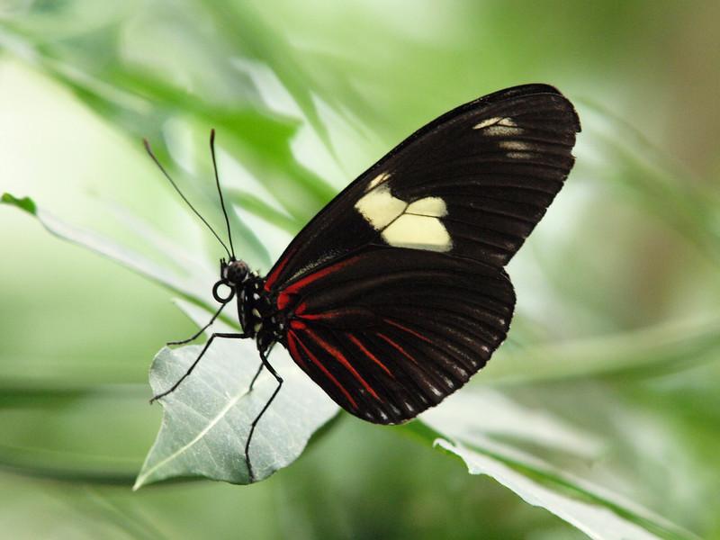 Doris Longwing at Butterfly Jungle - 11Apr 2010
